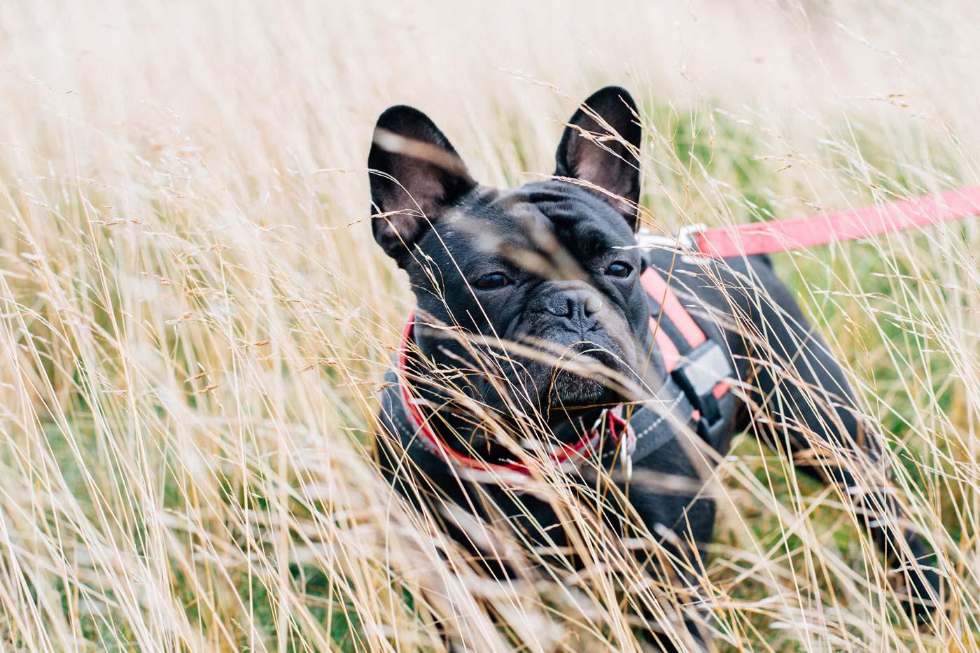 Fotografie Französische Bulldogge | Julia Friedl