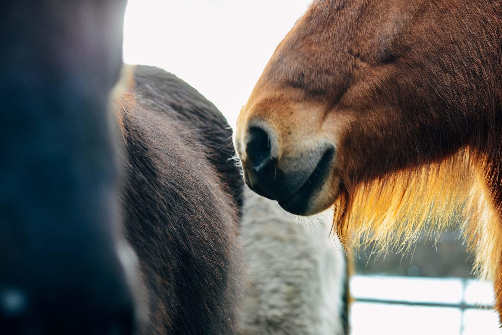 Detail-Fotografie Islandpferde | Julia Friedl