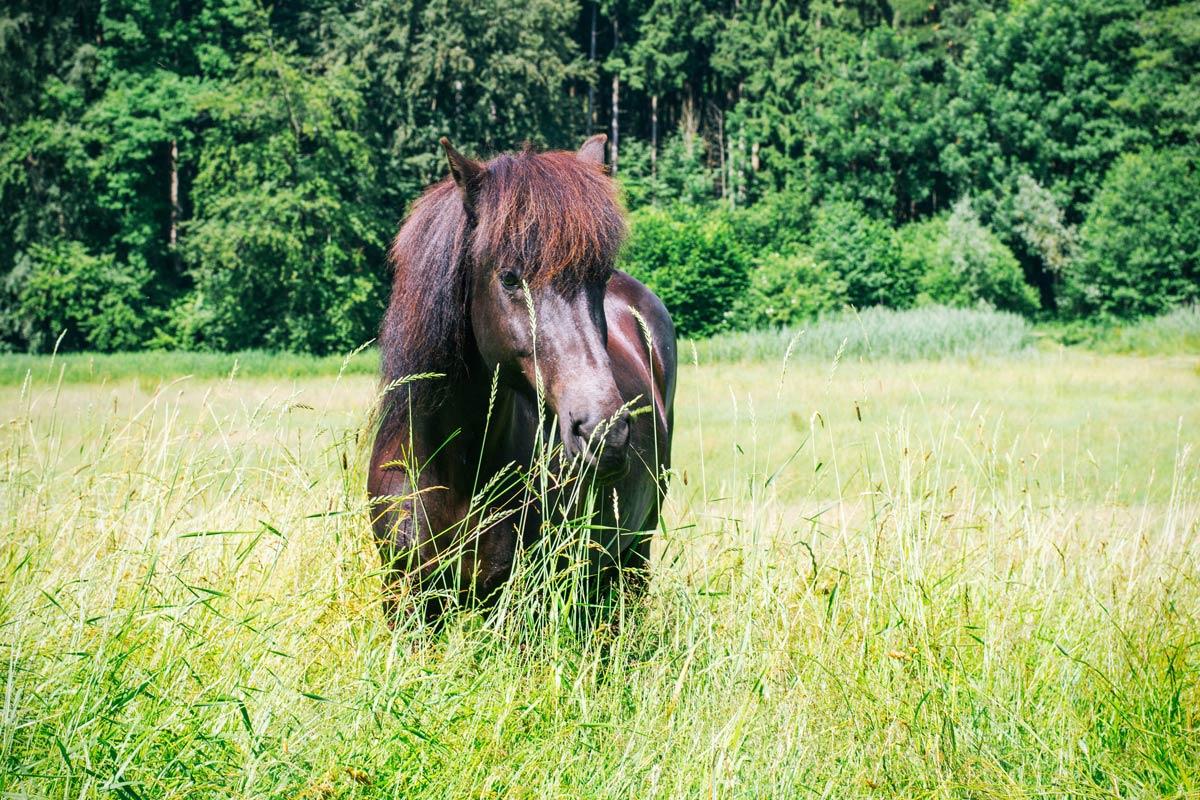 Islandpferd Vanadis vom Staudenhof | Julia Friedl